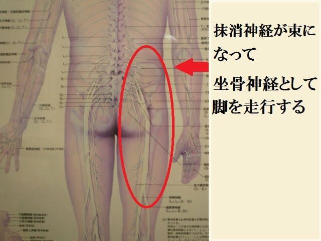 抹消神経が束になって坐骨神経として脚を走行する