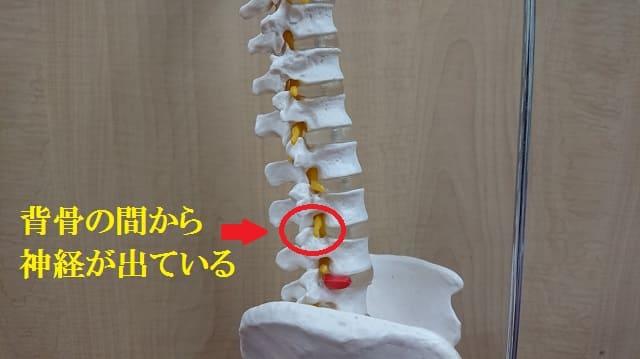 骨盤模型の神経の圧迫の画像