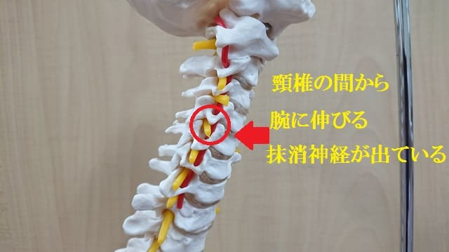 頸椎から腕に伸びる抹消神経
