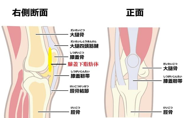 膝関節の構造のイラスト